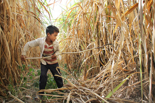 A child cutting sugar cane for sugar factory