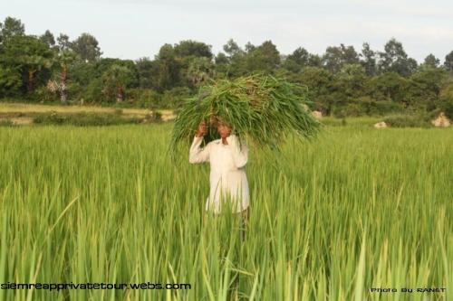 Rice field in Cambodia 3